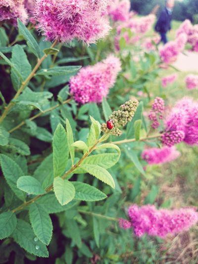 Garden. June. Ladybug.