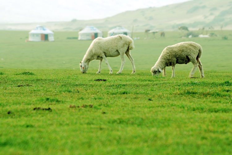 Yurts Animal Themes Beauty In Nature Day Domestic Animals Field Grass Grazing Green Color Landscape Livestock Mammal Nature Outdoors Pasture Scenics Sheep Sheep Grazing
