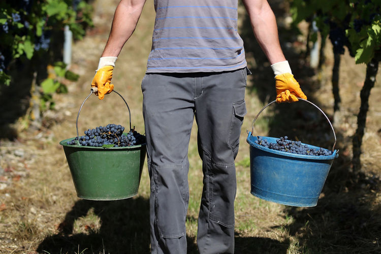 Midsection of man holding grapes in buckets while standing at vineyard