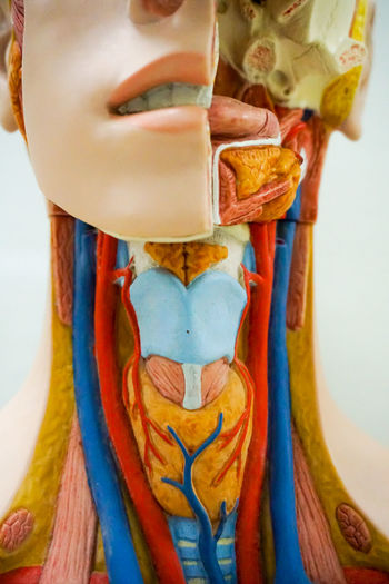 Trachea anatomy model for medical education purpose Body & Fitness Breathing Science Vein Ache Anatomical Anatomy Biology Close-up Education Health Human Inside Internal Larynx Medical Model Muscle Nerve Organ Throat Trachea Transplant