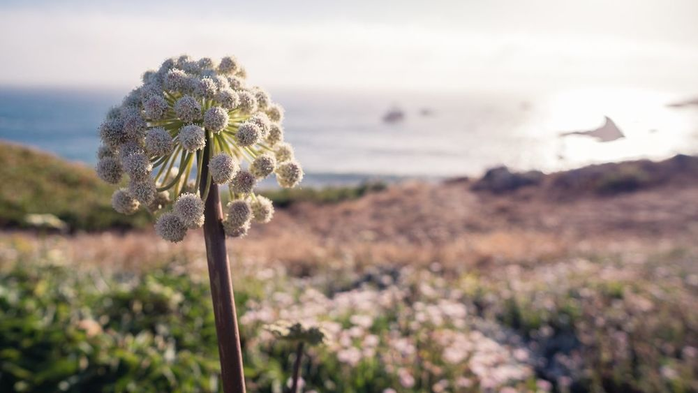 Sonoma Coast Northern California Pacific Ocean Beach Plant Flower Flowering Plant Focus On Foreground Growth Beauty In Nature Nature Vulnerability  Fragility Tranquility Freshness Land No People Plant Stem Tranquil Scene Field Sky The Great Outdoors - 2018 EyeEm Awards