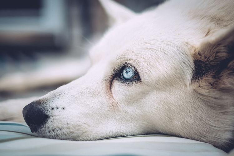 Close-up of white dog lying on bed