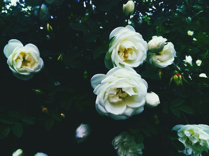 Nature Flower Beauty In Nature Wildroses First Eyeem Photo