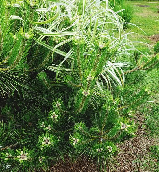 The nature of green pine and white fern.