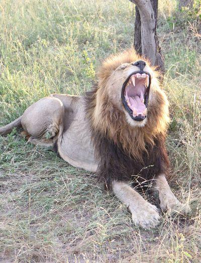 Lion Yawning On Grassy Field At Kruger National Park