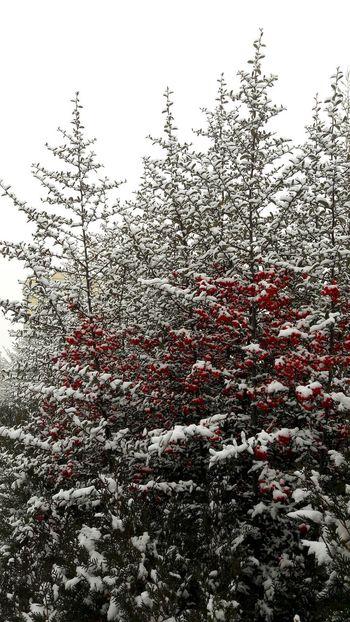 Tree No People Nature Cold Temperature Outdoors Snow Snowing Minimalism Photography Minimalizm Mutluluk Huzur Yumuşak Hava Cam Fence çit Bitkileri Ateş Dikeni Pyracantha Diken Red Berry Kırmızı Meyveli Plant The Street Photographer - 2017 EyeEm Awards