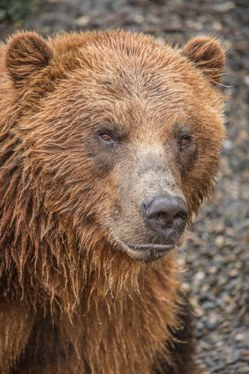 A close up of an ABC Islands bear (Ursus arctos sitkensis) or Sitka brown bear taken on Baranof Island. It is a subspecies of brown bear or grizzly bear that resides in Southeast Alaska and is found only on the ABC Islands (Admiralty Island, Baranof Island, and Chichagof Island) . The bear is slightly different to a standard brown bear in that around 6.5% of the X chromosomes from the ABC Islands bears have recently come from polar bears. This is in contrast to 1% of the ABC Islands bears genomes containing polar bear DNA. It is believed that the present polar bear DNA stems from a group of polar bears that were stranded in Southeast Alaska at the end of the last glacial period due to receding ice. Male brown bears migrated to the island and interbred, leaving the phenotype and genotype of these bears to be primarily brown bear. The story of the ABC islands bear is warning as to the future of all polar bears as the arctic continues to warm at twice the rate of the rest of the world and the fastest rate in measurable history. The media often focuses on the record low summer sea ice coverage which according to NASA is declining at a rate of 13.2% per decade and accelerating. However perhaps more startling is the US National Snow and Ice Data Center (NSIDC) report released in April on the age of arctic sea ice which provides a better indicator of the decreasing thickness of the ice and total ice volume. Ice older than one year covered 61% of the region in 1984, compared to just 34% in 2018. Only 2% of the Arctic's sea ice is now five years old or older, compared to 30% in 1984. With several consecutive years of winter heatwaves in the arctic, the total surface area of the ice is now shrinking in across all seasons, not just in summer. Seems we are heading for an ice free summer arctic within 10 and 30 years from now. ABC Islands Bear USA Ursus Arctos Sitkensis Alaska Animal Animal Body Part Animal Eye Animal Head  Animal Themes Animal Wildlife Bear Brown Close Up Face 