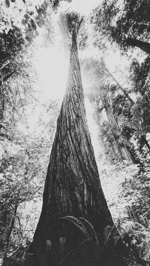 Our Lively Trib Our Love Foun Travis Meredith Beauty In Nature Blackandwhite Fern Growth Nature No People Outdoors Redwood Trees Redwoods Redwoods California