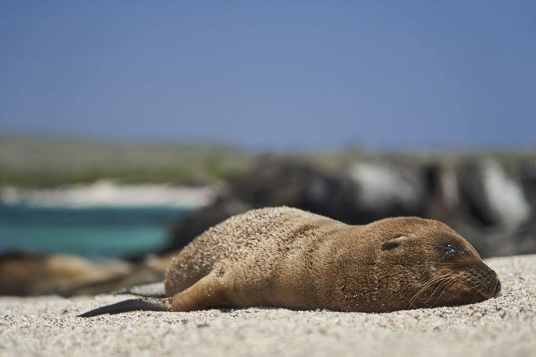 Galapagos sea lion, zalophus wollebaeki. cute puppy lying in the warm sunlight on the sandy beach.