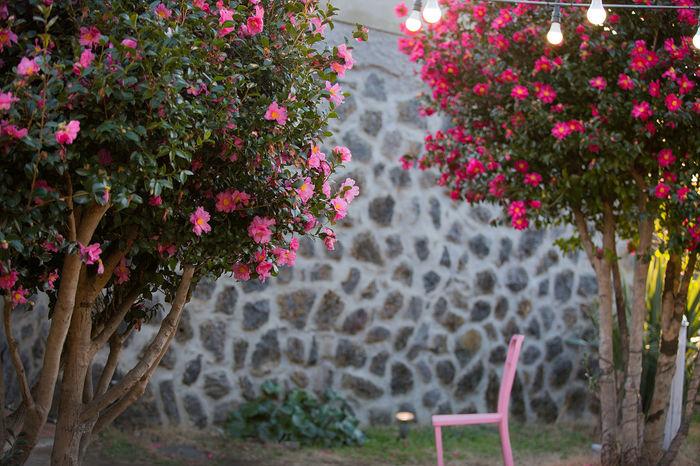 제주도는 동백이 만발 JEJU ISLAND  Cafe Flower Nature Growth Beauty In Nature Plant Pink Color Spraying