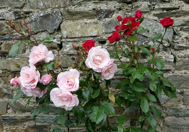 Roses in Normandy Flower Petal Nature Fragility Freshness Flower Head Plant Beauty In Nature Growth High Angle View Outdoors No People Wet Pink Color Close-up Day Horizontal Roses Roses_collection Red Rose Pink Rose Rustic Rustic Style Rustic Charm RusticWays