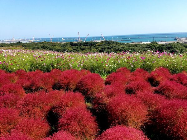 Flower Red Beauty In Nature Freshness Nature Growth Sea Outdoors Day Horizon Over Water Sky No People Beautiful Plant Leaf Kokia Autuman Season  Japan Color Backgrounds Cosmos Cosmos Flowers Blossom Floral Perspectives On Nature EyeEmNewHere