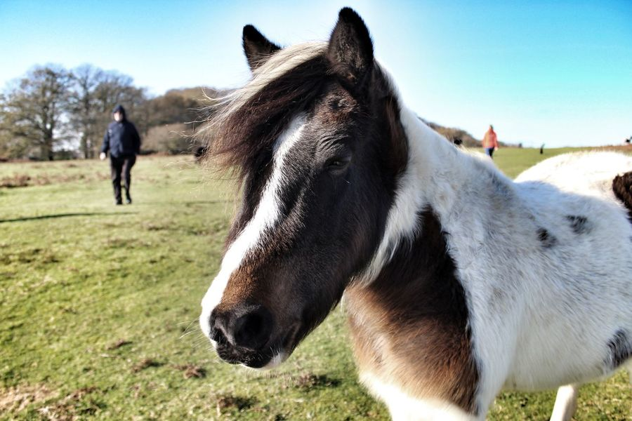 Pony Dartmoor Ponies Dartmoor Horse