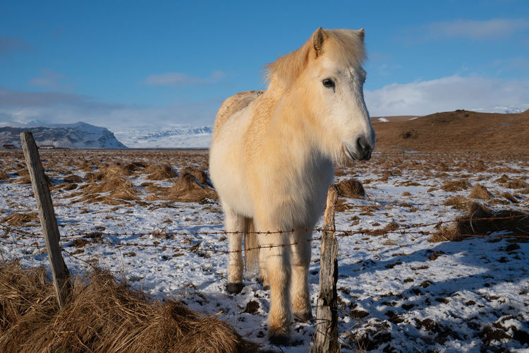 Icelandic horse standing on snow covered field against sky