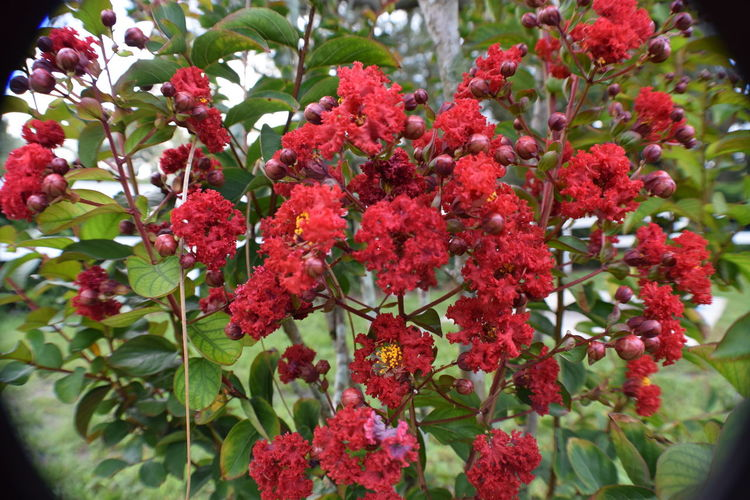 Red myrtle in