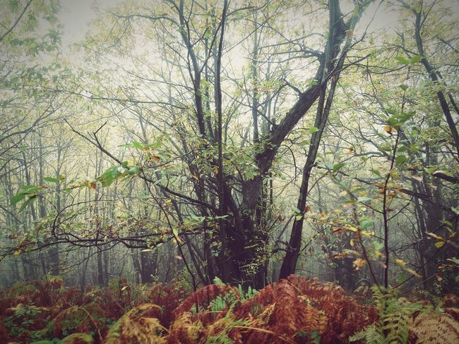 Growth Tree Nature No People Plant Beauty In Nature Low Angle View Green Color Branch Tranquility Outdoors Day Retouched Autumn Autumncolors Autumn 2016 Leaves Fog Foggyday Ardeche