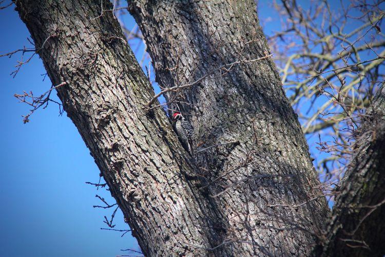 Wood Pecker Bird Tree Tree Trunk Branch Animal Themes Animals In The Wild Day Bare Tree Sky
