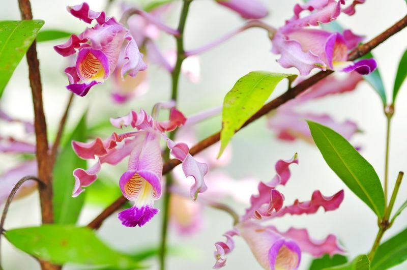 Orchids Flower Head Flower Multi Colored Leaf Pink Color Pastel Colored Beauty Orchid Petal Springtime