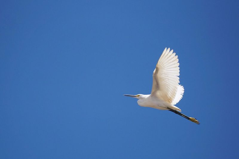 Egret flying in the Amazon forest , Peru. Bird Animals In The Wild Animal Themes Wildlife Blue Flying Spread Wings One Animal Clear Sky Copy Space Seagull Low Angle View Full Length Zoology Nature Outdoors Beauty In Nature Tranquility No People Egret Amazon Forest Peru