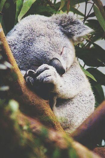 Nanna Koala