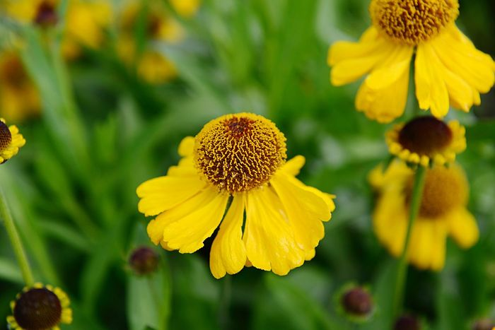 Helenium Bigelovii The Bishop Sneezeweed Botany Blossom Blooming Flower Flowering Plant Yellow Fragility Plant Growth Vulnerability  Freshness Flower Head Inflorescence Beauty In Nature Close-up Outdoors Pollen Coneflower Petal Focus On Foreground No People Nature