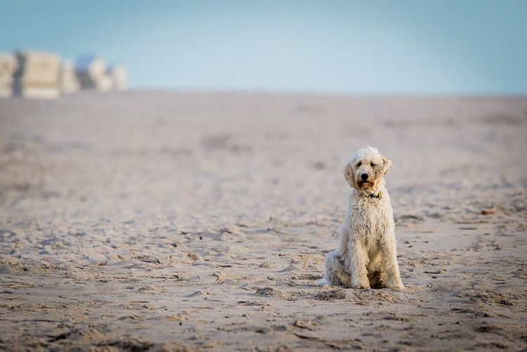 EyeEm Selects Dog Beach Pets Sand Outdoors Domestic Animals One Animal Animal Themes Mammal Sea Day Nature Sky Clear Sky No People Sitting Sand Dune