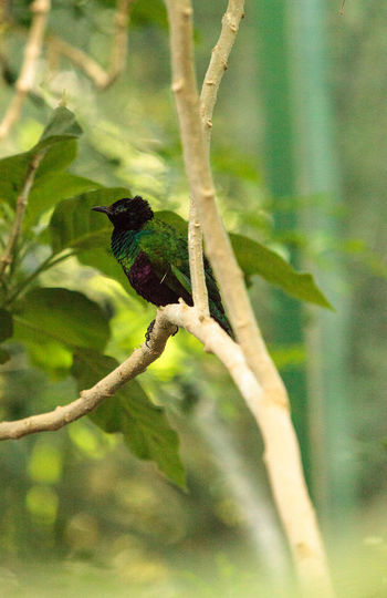 Emerald starling bird, Lamprotornis iris, is found in Guinea and Mali Animal Themes Animal Wildlife Animals In The Wild Beauty In Nature Bird Branch Close-up Day Emerald Starling Focus On Foreground Lamprotornis Iris Nature No People One Animal Outdoors Perching Starling Tree
