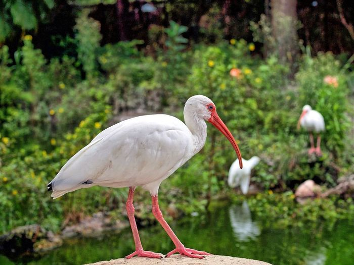 Close-up of white ibis at zoo