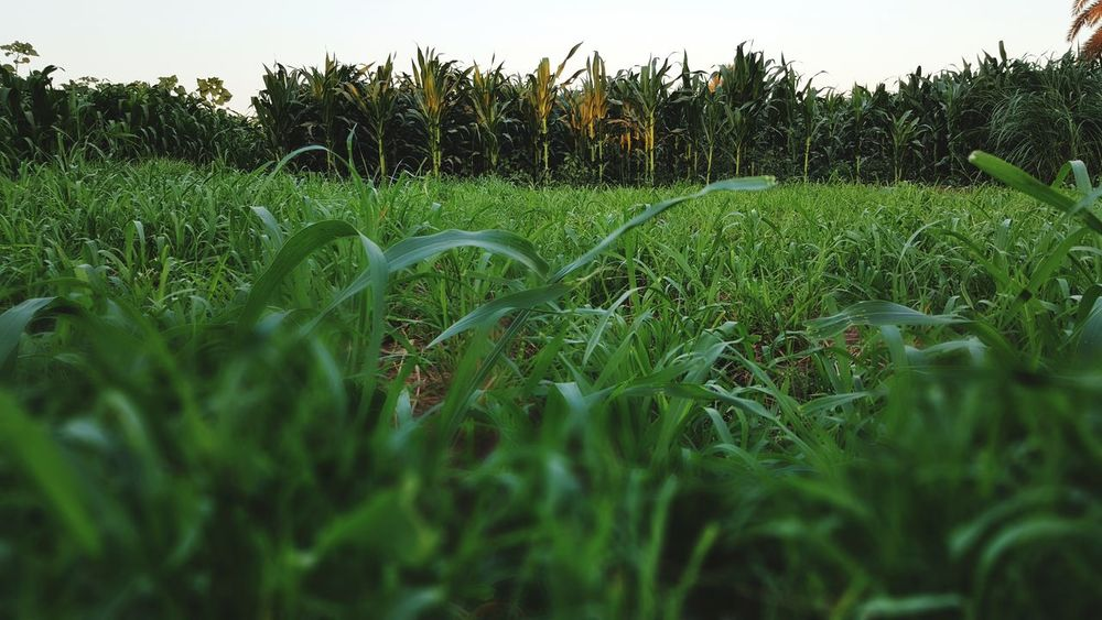 Wide farm.. Agriculture Growth Field Crop  Rural Scene No People Nature Cereal Plant Outdoors Day Freshness Sky Vegetable Food Landscape Green Color Corns Breathing Space EyeEmNewHere