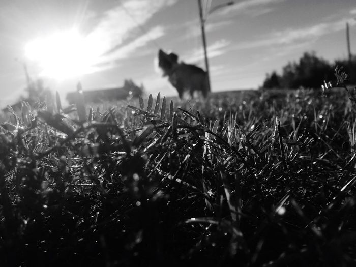 Chewie Sunrise Field Nature Growth Sun Plant No People Grass Sky Sunlight Outdoors Animal Themes Landscape Beauty In Nature Close-up Dog Focus On Foreground good morning world 🌎✌️👽 EyeEmNewHere The Week On EyeEm Pet Portraits Black & White