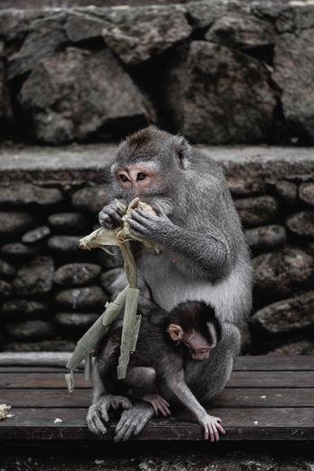 Monkeys sitting on stone wall
