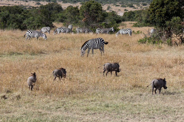High angle view of zebras and warthogs on field