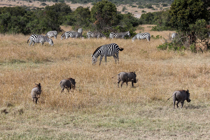 Africa Animal Themes Animals In The Wild Boar Grazing Herd Kenya Zebra Warthog Pumba