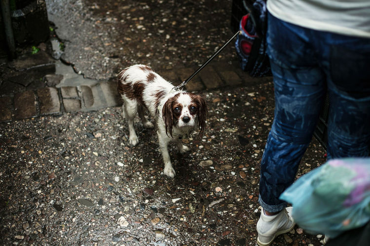 Low section of woman with cavalier king charles spaniel standing on wet footpath during monsoon