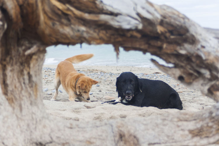 dogs free in the beach Friends Friends Dog Perros  Perros Por El Mundo Summer Dogs Dogs In Nature Nature Animal Labrador Retriever Branch Playa Beach Sand Dog Sea Water Pets Young Animal Animal Family Black Labrador Animal Hair