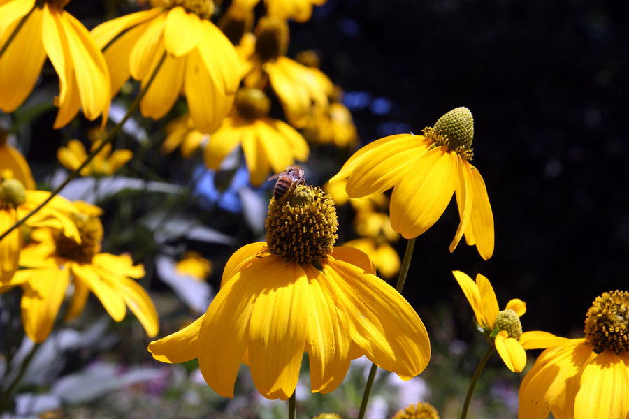 The beauty of Nature. Flowering Plant Flower Yellow Vulnerability  Fragility Petal Flower Head Plant Coneflower Beauty In Nature Inflorescence Freshness Growth Close-up Black-eyed Susan Focus On Foreground Pollen No People Nature Day Outdoors Nature Nature_collection Bee Nature Photography