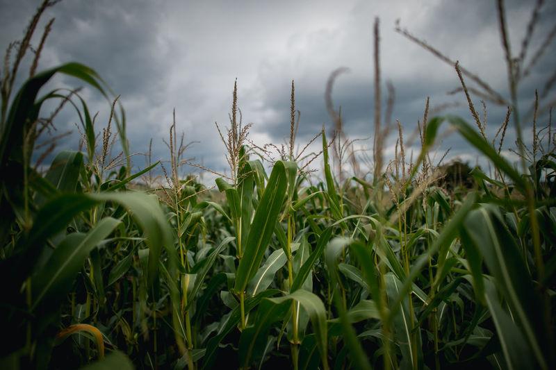 Corn growing on field against sky