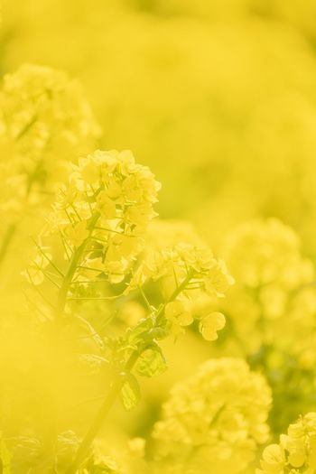 nanohana Yellow Plant Flower Flowering Plant Fragility Beauty In Nature Freshness Springtime Outdoors Nature Flower Head No People
