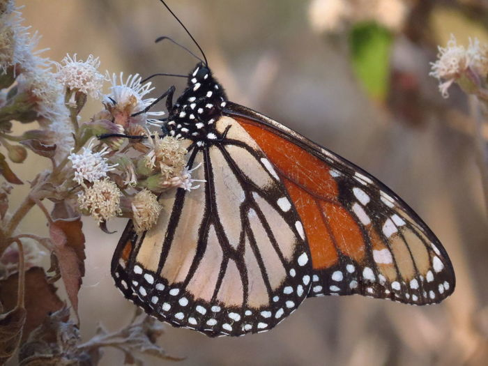 Migración Mariposa Monarca Animal Themes Beauty In Nature Butterfly Close-up Day Fragility Freshness Insect Migrating Monarch Butterfly Nature No People One Animal Outdoors White Flower