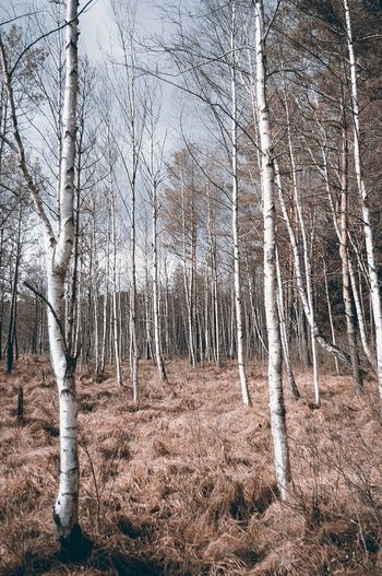 Birch Trees And Withered Grass
