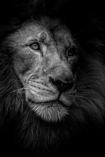 Head Shot of a Male Lion I took in Beautiful South Africa Close-up Animal Wildlife Black Background Animal Lion, Black And White, Award Winner, Wildlife Endangered Species Wall Art Portrait Photography South Africa EyeEmNewHere