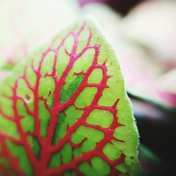 Coleus contrast Growth Close-up Red Leaf Plant No People Nature Day Houseplants Houseplant Leaves Illuminated Contrasting Colors Pink Luminous Freshness Beauty In Nature Leaf Veins Leaf Vein Coleus Leaf Coleus Red Green Color Indoors  Garden