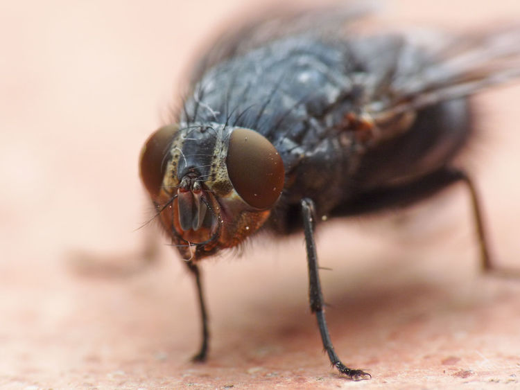Fly Animal Themes Animal Wildlife Annoying Boring Close-up Day Fly Fly Insect Fly Macro Insect Insect Macro  Insect Paparazzi Nature No People One Animal Outdoors Insect Eye Insect Eyes