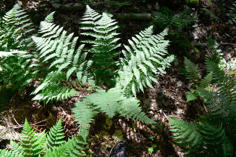Fern Pine Tree Green Pinaceae Close-up Plant Green Color Botanical Vegetation