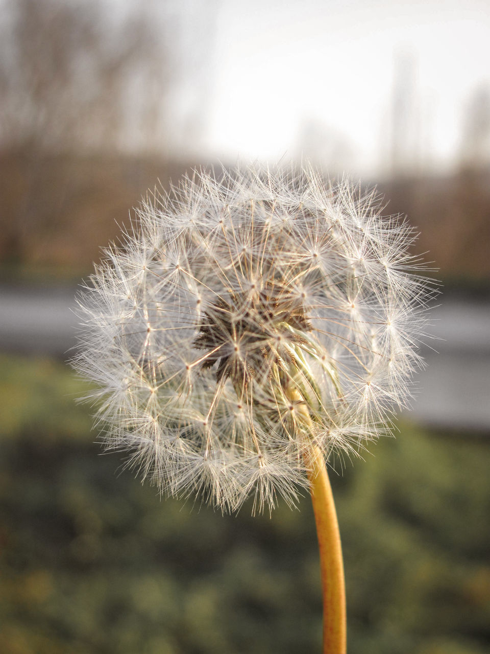 fragility, vulnerability, dandelion, flower, focus on foreground, flowering plant, close-up, plant, freshness, beauty in nature, softness, growth, inflorescence, flower head, nature, day, dandelion seed, no people, plant stem, outdoors, wilted plant