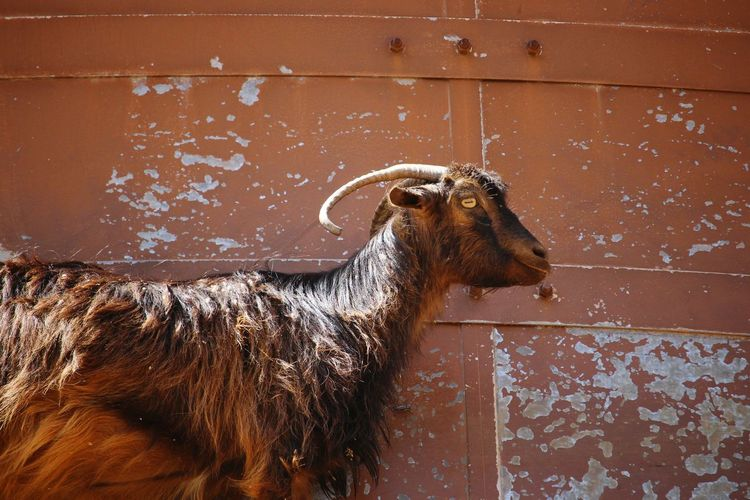 Goat Goats Farm