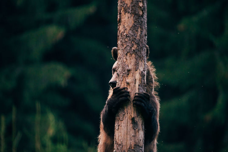 Bear embracing tree in forest