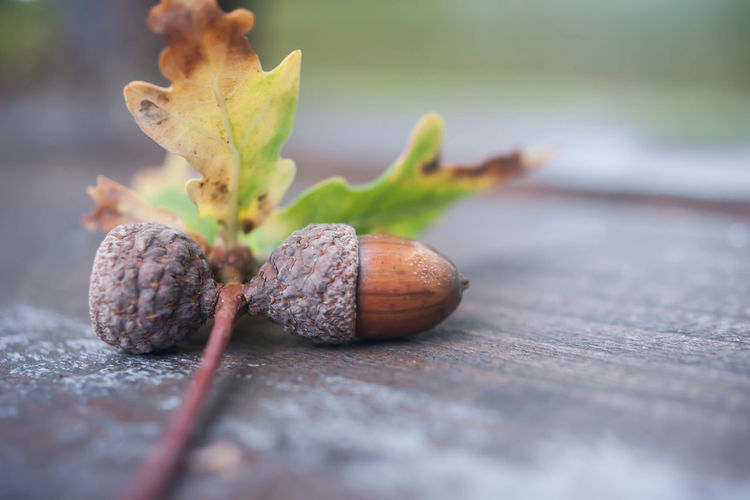 Close-up of acorns on plank