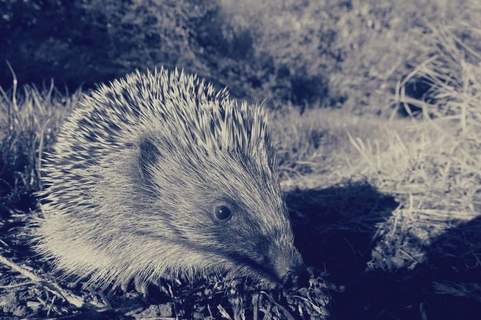 Exploring Animal Animal Themes Animal Wildlife Animals In The Wild Baby Animals Baby Hedgehog Black And White Black And White Photography Close-up Day Field Focus On Foreground Hedgehog Land Mammal Nature No People One Animal Outdoors Plant Rodent Spiked Vertebrate Zoology