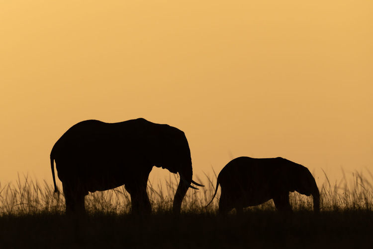 Silhouette horse grazing in field during sunset